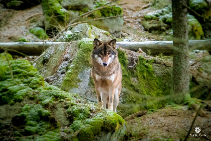 vlci-2